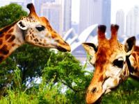 塔朗加动物园 Taronga Zoo